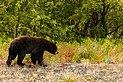 Oso negro (Ursus americanus), Parque natural provincial Tatshenshini-Alsek, Yukón, Canadá, 2017-08-25, DD 85.jpg