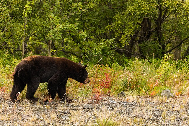 Black Bear Natural Casing Hot Dogs