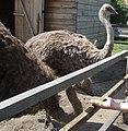 Ostrich Farm - panoramio (1).jpg