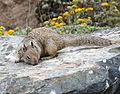 Otospermophilus beecheyi (California Ground Squirrel) - Flickr - S. Rae.jpg