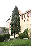 Overview of Famous tree Kámenský cypřišek near Kámen castle in Kámen, Pelhřimov District.jpg
