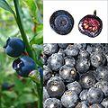 Owoce Borówka czarna.jpg