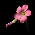 Oxalis tetraphylla20150428 3041.jpg