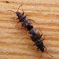 Oxycarenus modestus - KierscheWieden20150308 62.jpg