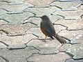 Pássaros em Porto Alegre 002.JPG