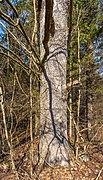 Pörtschach Winklern Quellweg Wanderweg Eichenstamm 12012020 8020.jpg
