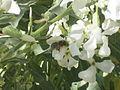 Pčela na cvijetu333.JPG