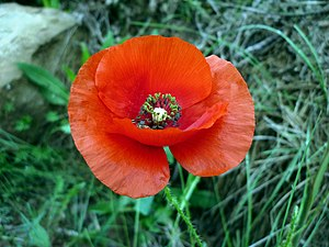 National symbols of Albania - Red Poppy