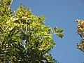 PP Stráně Hlubockého dolu, Fraxinus excelsior.jpg