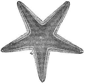 PSM V27 D376 Upper surface of a starfish astropecten.jpg