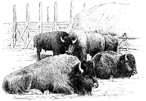 PSM V34 D801 Half blood buffaloes.jpg