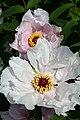 Paeonia ostii (1).jpg