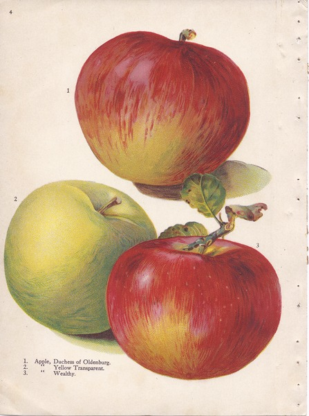 File:Page 4 apple - Duchess of Oldenburg, Yellow Transparent, Wealthy.tiff