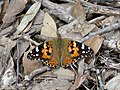 Painted Lady (38440461002).jpg