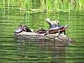 Painted Turtles Sunning.jpg