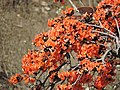 Palash-flame of forest 01.jpg