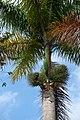 Palma real o botella (Roystonea regia) (5) (14385310226).jpg