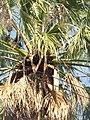 Palmeras en Trenque Lauquen (planta 06) foto 07.JPG