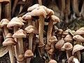 Panaeolus.subbalteatus.angryshroom.jpg