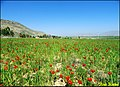 Papavers - panoramio.jpg