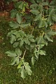 Paperbark Maple Acer griseum Leaves 2000px.jpg