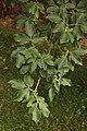 Paperbark Maple Acer griseum Leaves 2000px.jpg