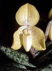 Paphiopedilum concolor Orchi 02.jpg
