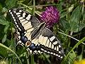 Papilio machaon CF9A5574.jpg