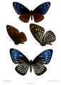 Papilio paradoxa telearchus 511.png