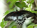 Papilio polymnestor at Kadavoor.jpg