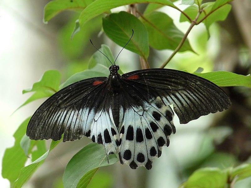 File:Papilio polymnestor at Kadavoor.jpg