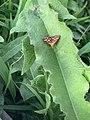 Papillon Pyrausta purpuralis observé à Saint-Maurice-de-Beynost dans l'Ain en juillet 2019 (1).jpg