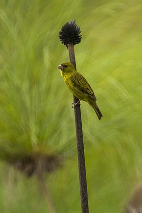 Description de l'image Papyrus Canary - Uganda MG 1468 (23040012745).jpg.
