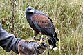 Parabuteo unicinctus female.jpg