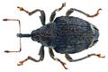 Parethelcus pollinarius (Forster, 1771) (28642764010).png