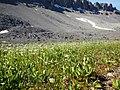 Parnassia fimbriata (28586542923).jpg