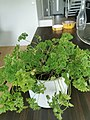 Parsley plant in a pot 05.jpg