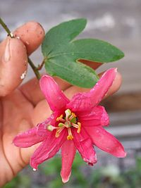 Passiflora antioquiensis - D7-11-4710