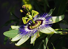 Passiflora caerulea (makro close-up).jpg