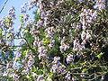 Paulownia flowering.jpg