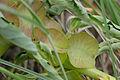 Pedaliaceae (Pterodiscus elliottii) fruits (17418126662).jpg