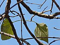 Pedda Gumudu Teku (Telugu- పెద్ద గుముడు టేకు) (3246605136).jpg