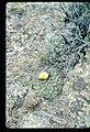 Pediocactus simpsonii in SW Idaho 3.jpg