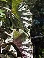 Pelargonium cordifolium04.jpg