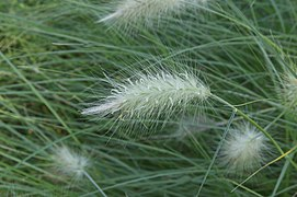 A feathery inflorescence of dense spikelets