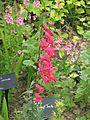 Penstemon Cherry Red - Flickr - peganum.jpg