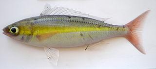 <i>Pentapodus</i> genus of fishes