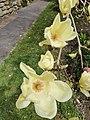 Penzance - magnolia flowers in Morrab Gardens.jpg