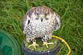 Peregrine X Saker Falcon, Cheshire Game and Country Fair 2014.jpg