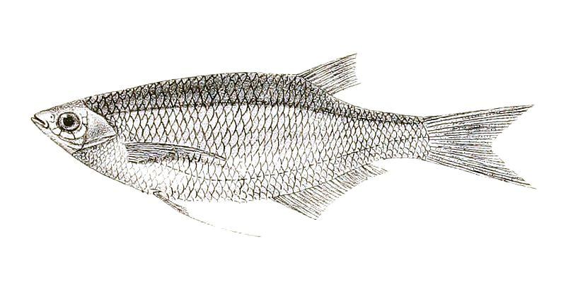 Cyprinus (Chela) cachius